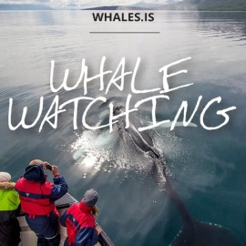 Whale watching Hauganes in North Iceland