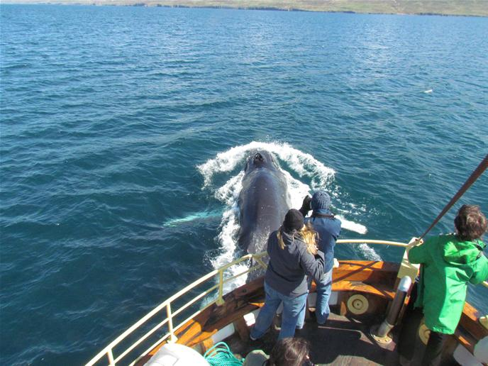 Whale watching tour in North Iceland