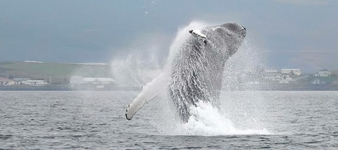 Humpback whale breaching Whale watching in North Iceland
