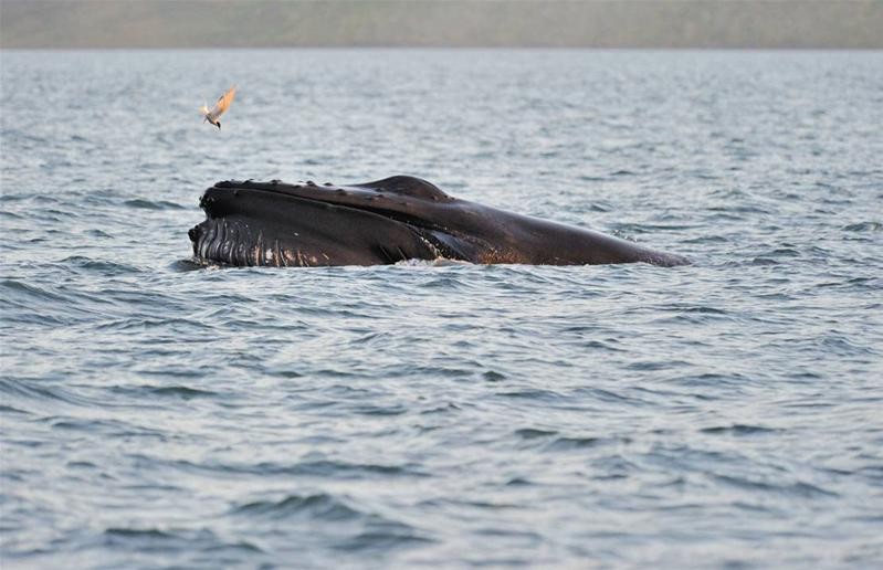 Humpback whale - Whale watching in North Iceland