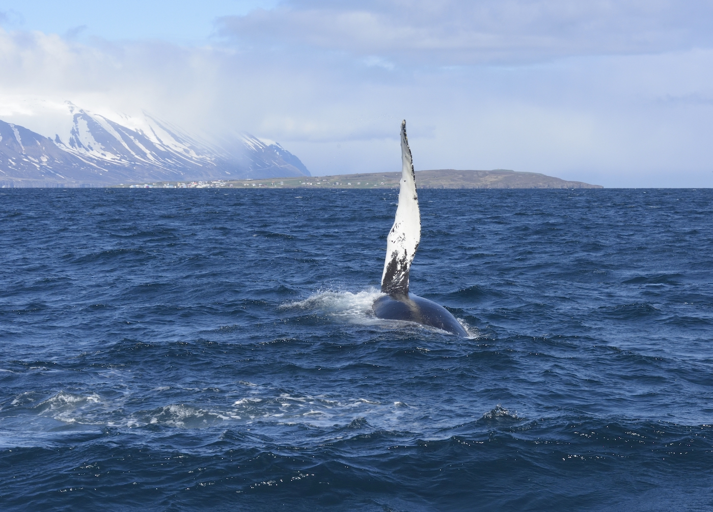 Waiving humpback whale on a tour near Hauganes.
